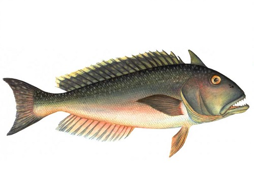 Illustration of Tilefish