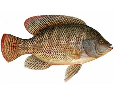 Illustration of Tilapia