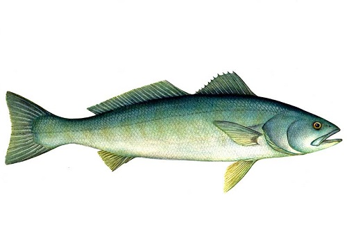 Illustration of White Seabass