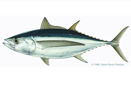 Illustration of Tuna (Albacore)