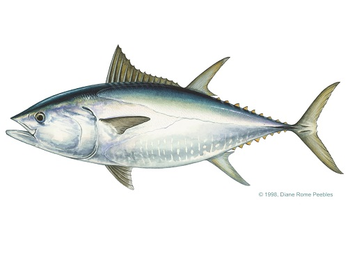 Illustration of Tuna (Bluefin)