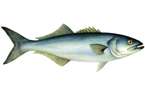 Illustration of Bluefish