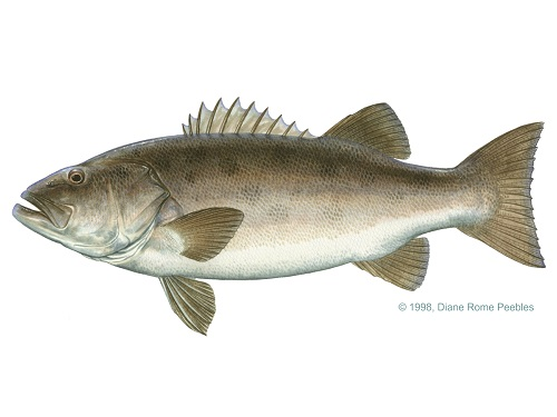 Illustration of Wreckfish