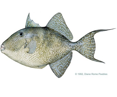 Illustration of Triggerfish
