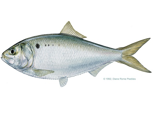 Illustration of Menhaden