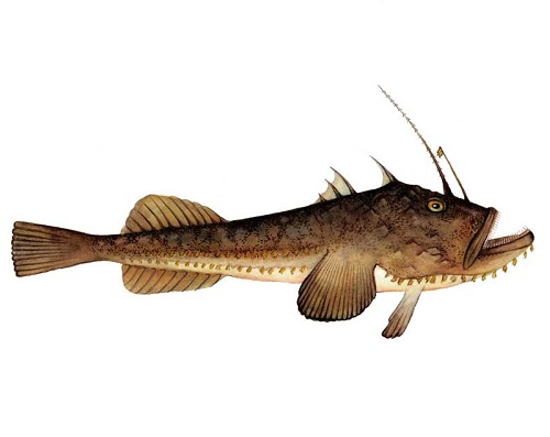 Illustration of Monkfish
