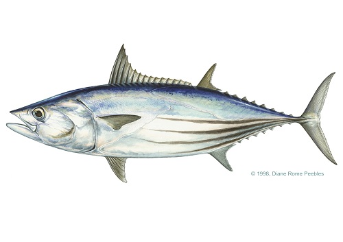 Illustration of Tuna (Skipjack)