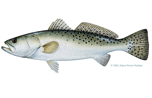 Illustration of Spotted Seatrout