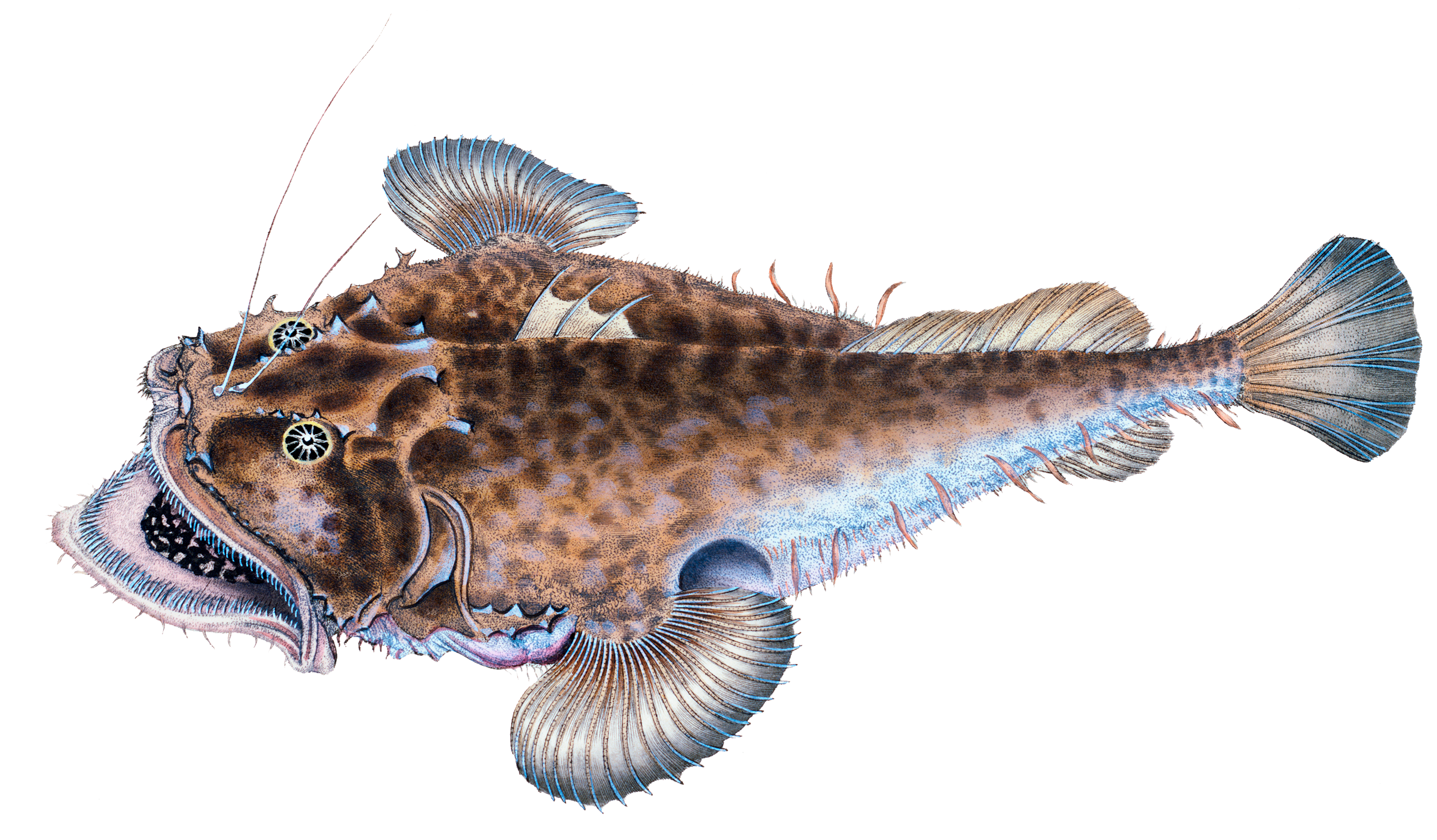 Illustration of Goosefish