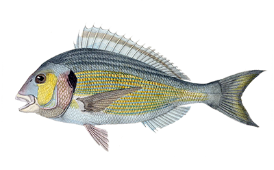 Illustration of Bream