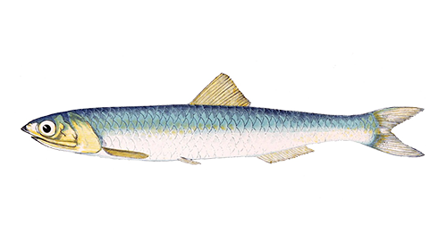 Illustration of Anchovy