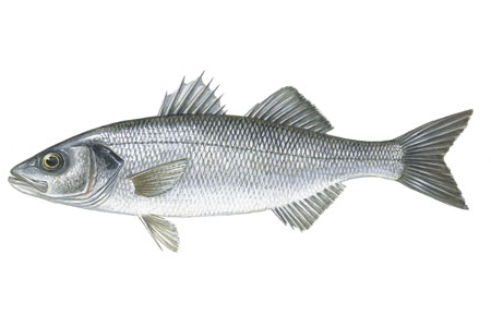 Illustration of Seabass
