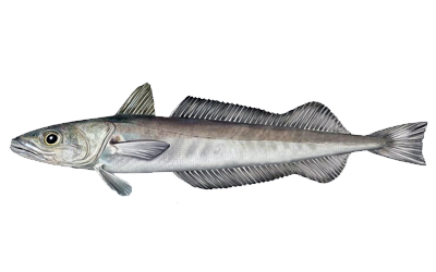 Illustration of Hake