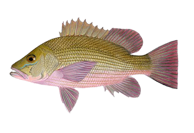 Illustration of Snapper