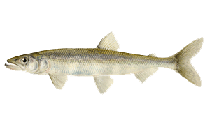 Illustration of Smelt