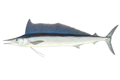 Illustration of Spearfish