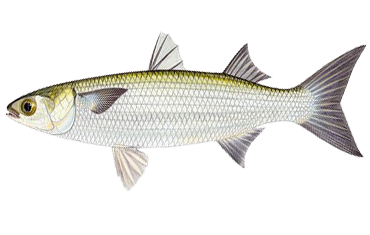 Illustration of Mullet