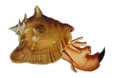 Illustration of Conch