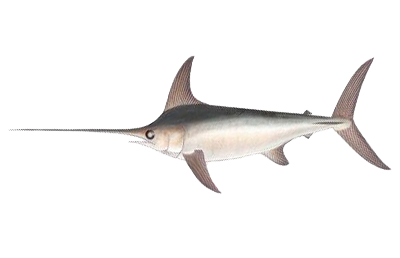 Illustration of Swordfish
