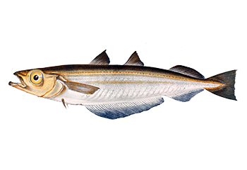 Illustration of Whiting