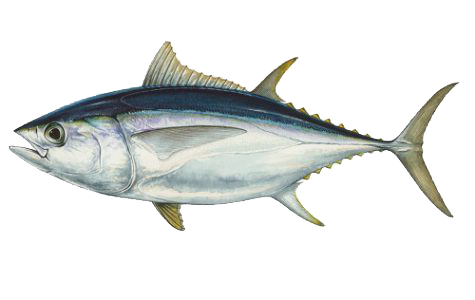 Illustration of Tuna