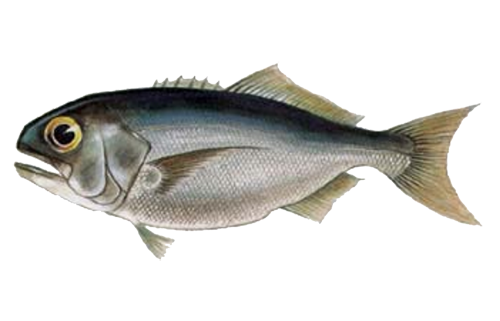 Illustration of Butterfish