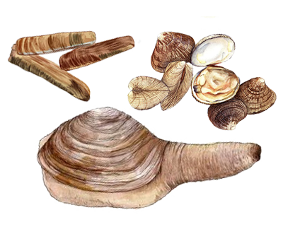 Illustration of Clams