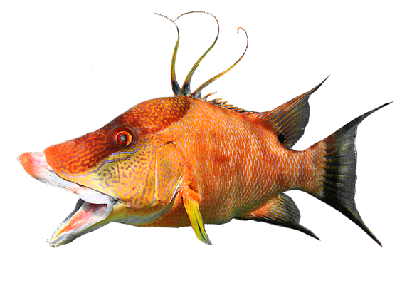 Illustration of Hogfish