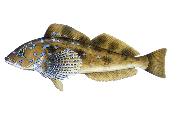 Illustration of Kelp Greenling