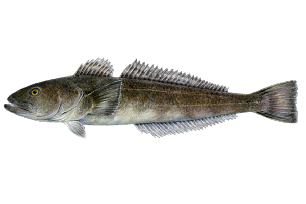 Illustration of Toothfish