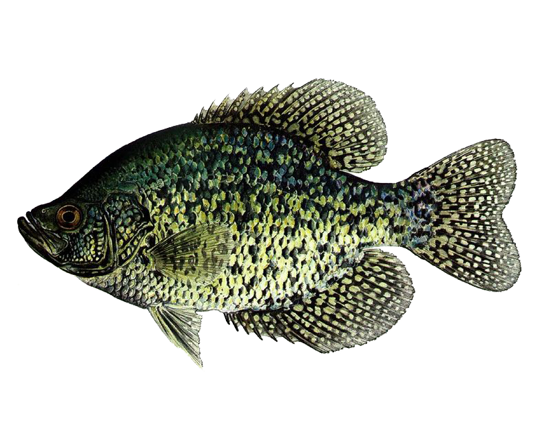 Illustration of Sunfish