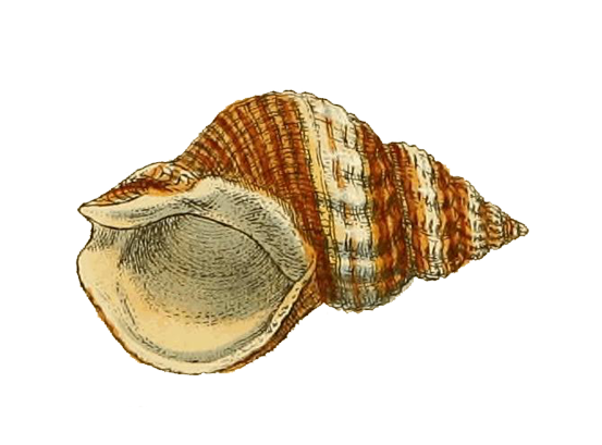 Illustration of Whelk